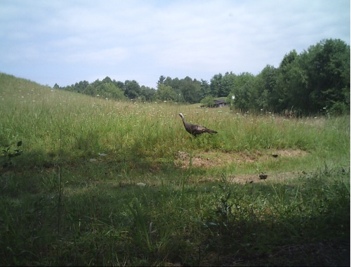 turkey trail cam