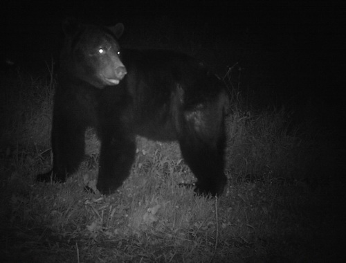 wv black bear