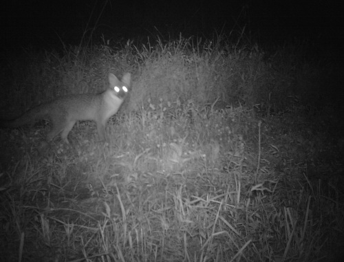 wv gray fox I