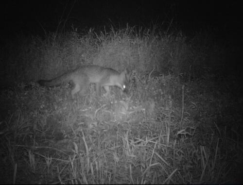 wv gray fox ii