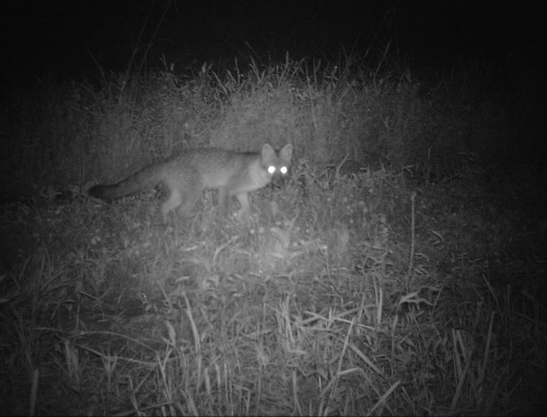wv gray fox