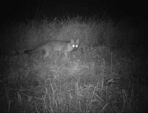 wv gray fox