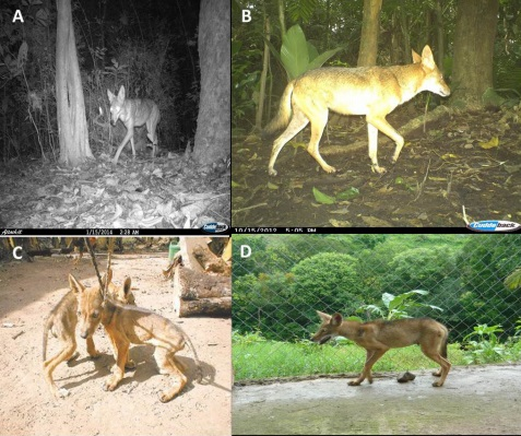 Coyotes in Panama. Very different from the ones you've seen on this blog.