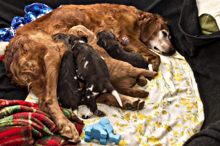 Keeper Golden Retrievers Golden Retriever Wild Dogs