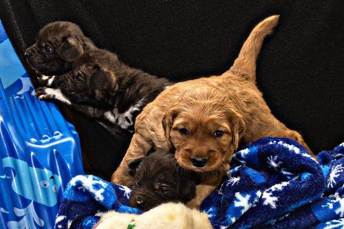 golen retriever pups and awd pups