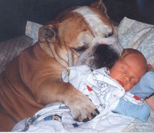 bulldog with baby