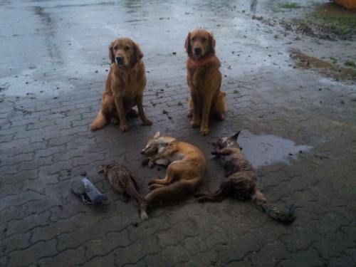 golden retriever hunting foxes