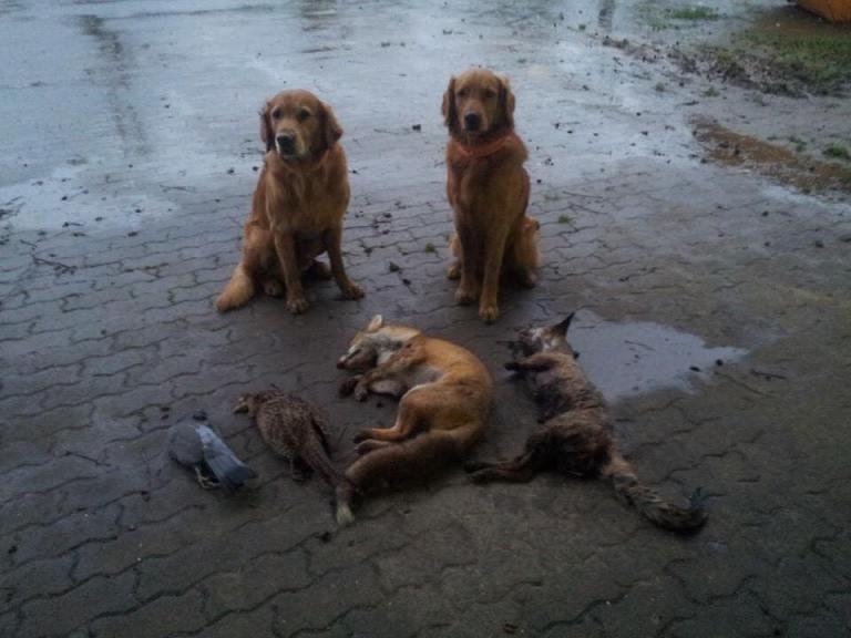 sporting dogs labrador retrievers birds of prey and - 960×720