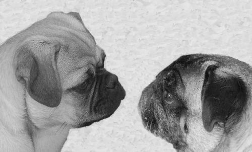 Retromops on the left. Conventional pug on the right. (Source)