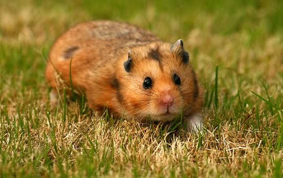 Wild Syrian Hamsters