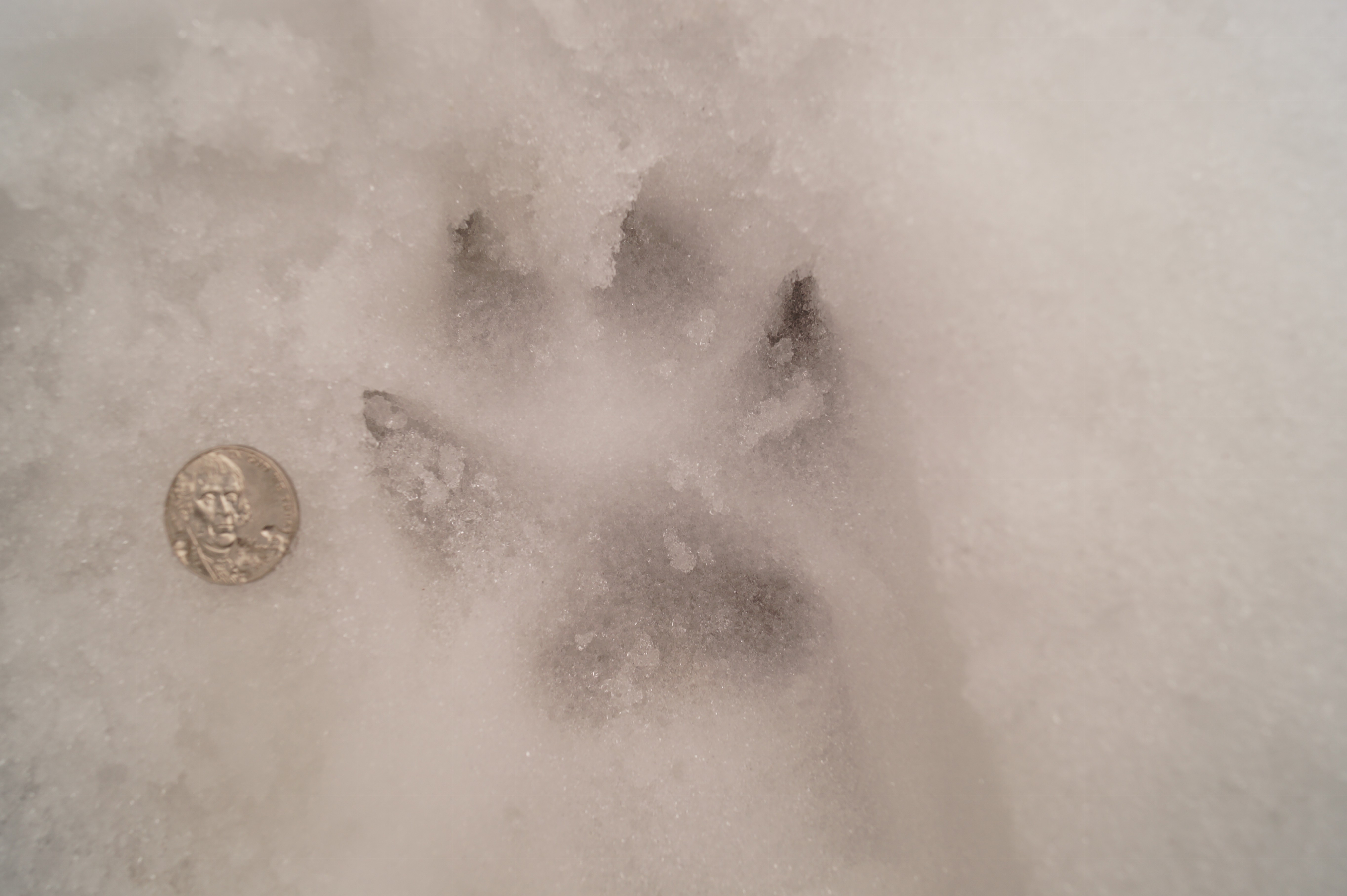 Coyote tracks in the snow natural history there is no hard and fast rule from telling dog tracks from coyote tracks but in this case there are no other domestic dogs running loose on this road publicscrutiny Choice Image