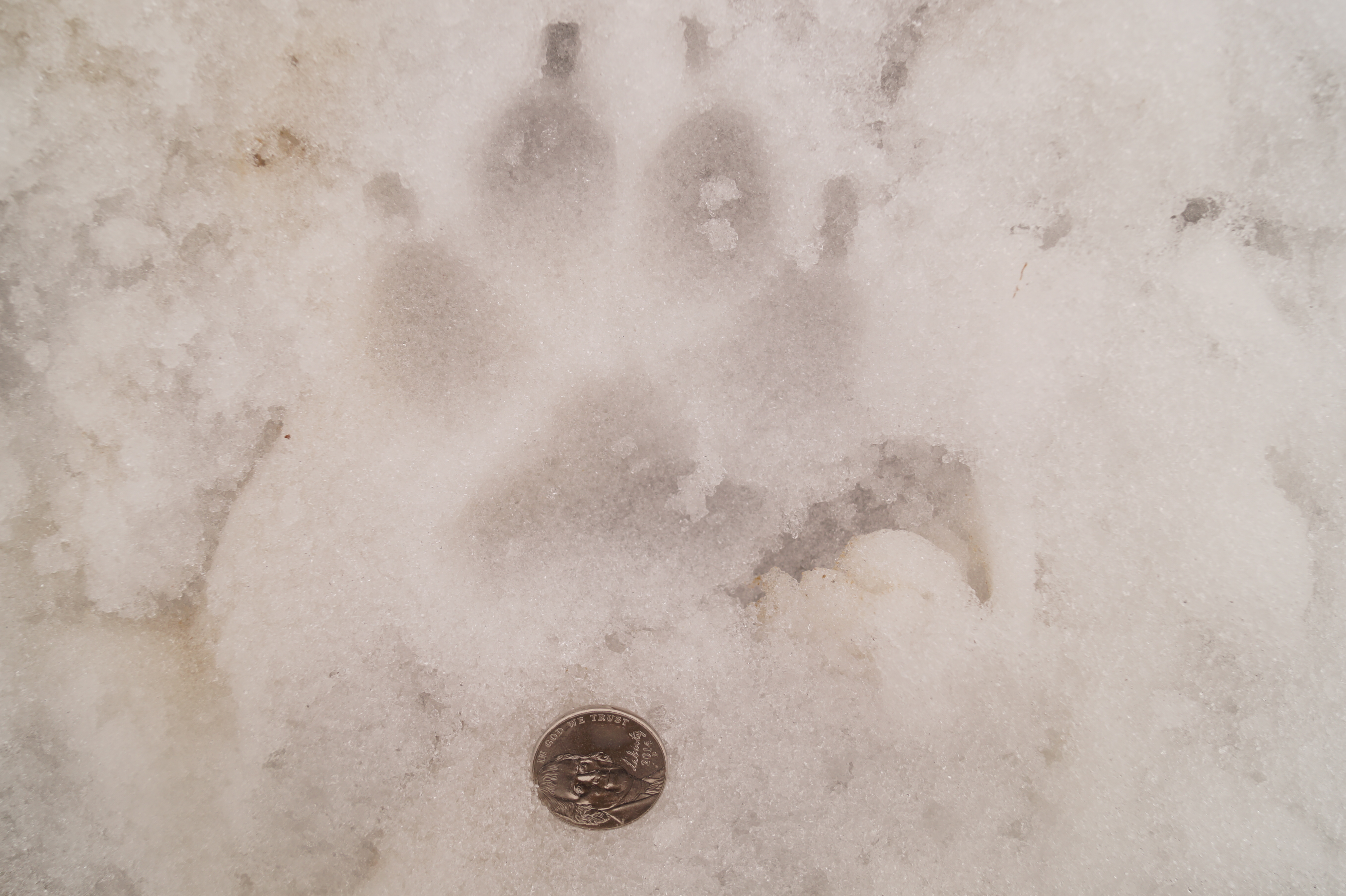 how to tell a wolf track from a dog track
