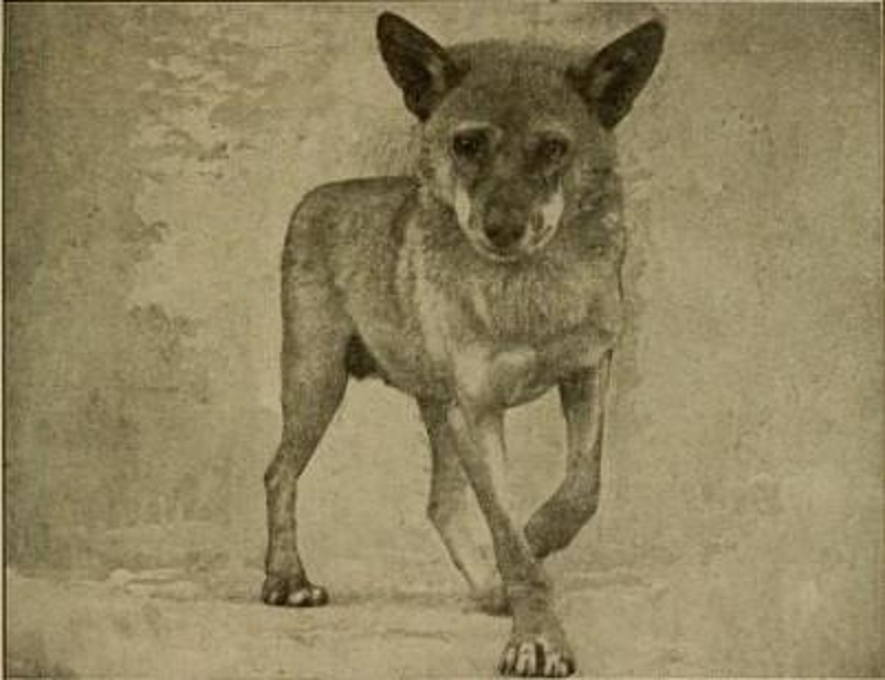 Egyptian jackal or African wolf with golden jackal and wolf-like features.