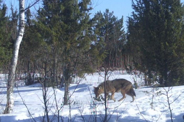 Trail camera photo of a golden jackal in Estonia. Source.