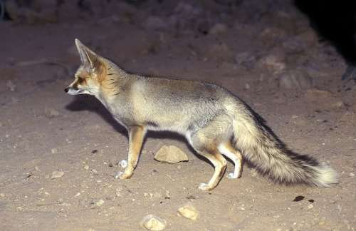 Rüppell's fox
