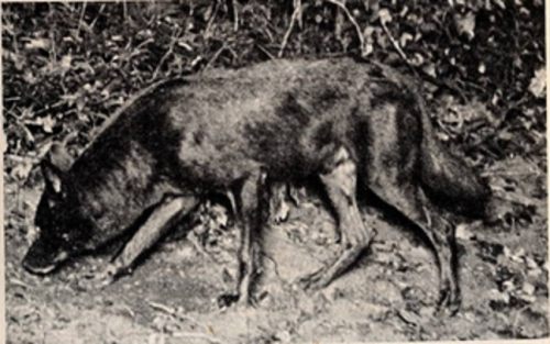 southern black wolf