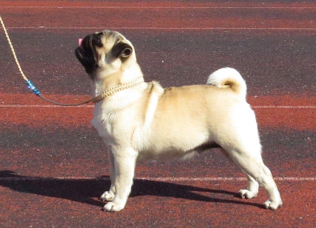 Dog breeds that look like pugs 11