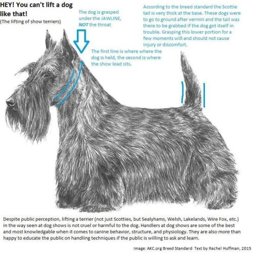 Scottish terriers by the tail