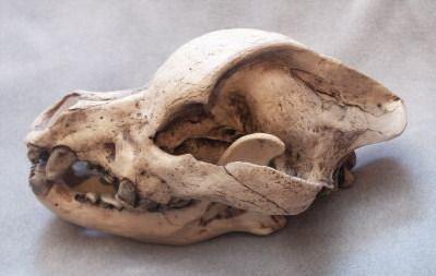 hybrid origin of the pit bull revealed in new studies natural history