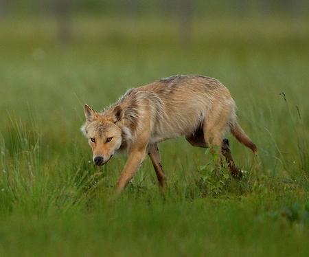 yellow finnish wolf