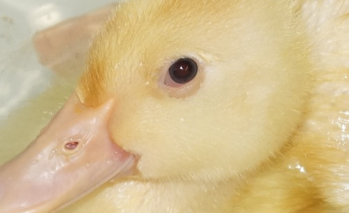 blue eyed duck close up