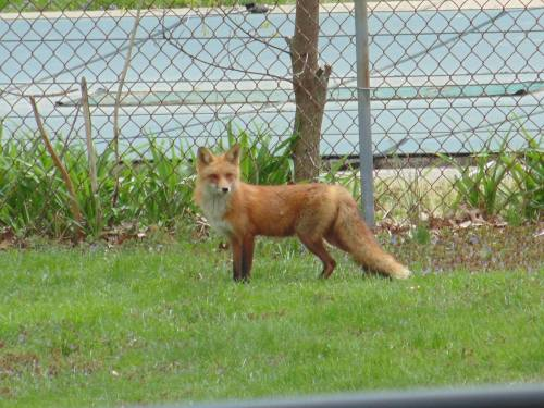 A red fox vixen in the Mid-Atlantic part of the USA. Photo by Kris Diaz.