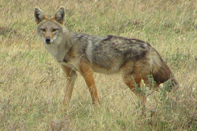 African golden wolf (Canis anthus).