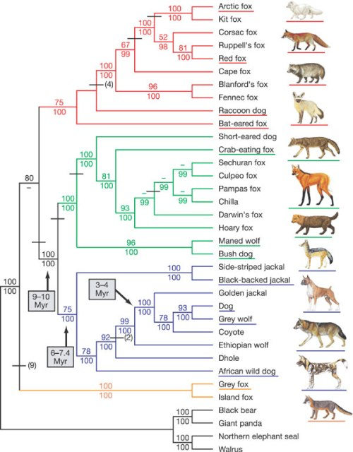 dog family phylogentic tree