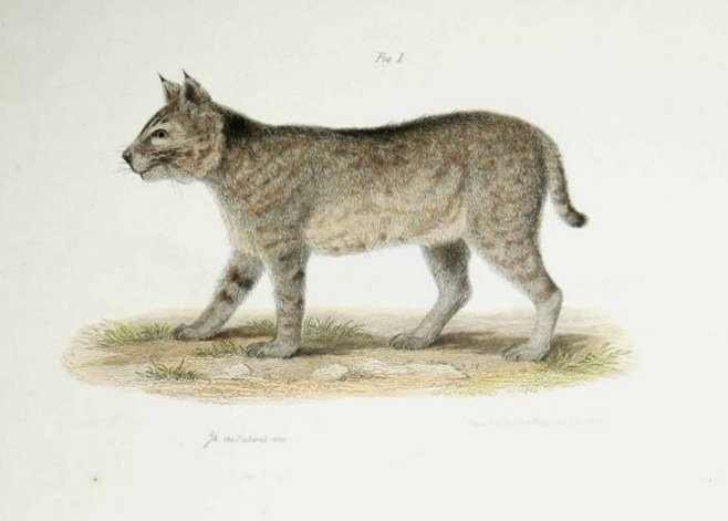 bobcat painting