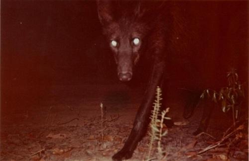 melanistic maned wolf