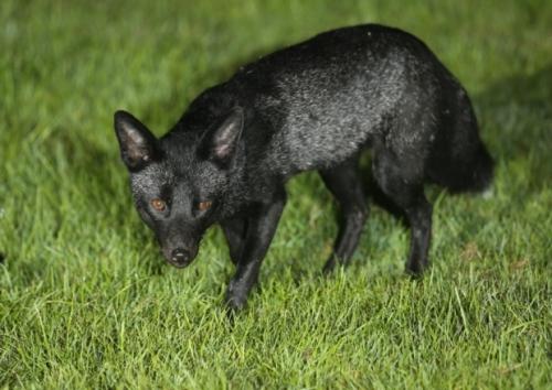 Yorkshire black fox
