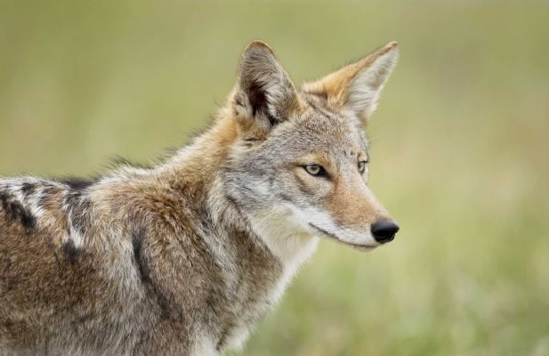 Eastern coyote | Natur...