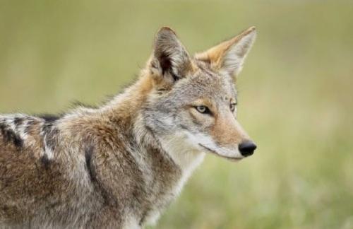 coyote  eastern