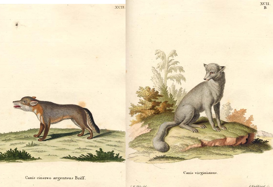 Schreber's Gray and Virginia foxes.