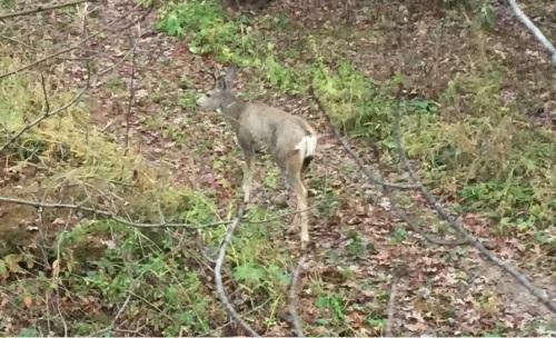 Wisconsin mule deer