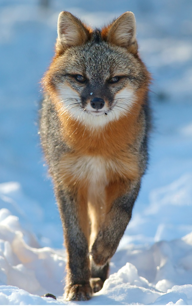 gray fox snow