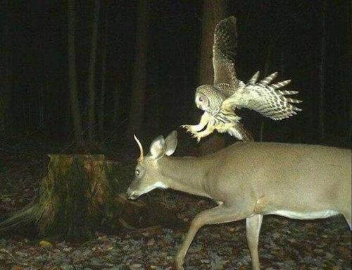owl attacks deer
