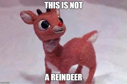 rudolph isn't a reindeer