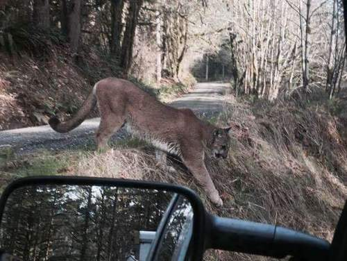 west virginia cougar
