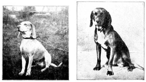 coonhounds