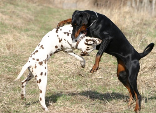 dal doberman fight