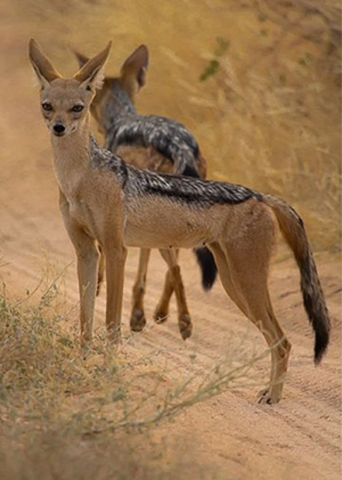 black backed jackal pair