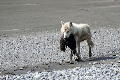 wolf eats sea otter
