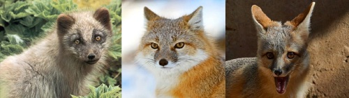 arctic fox, swift fox kit fox