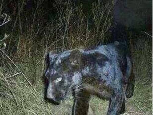 black panther hoax