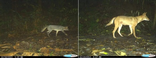 crab-eating fox coyote