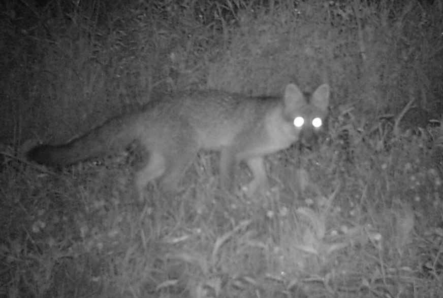 gray fox in the meadow