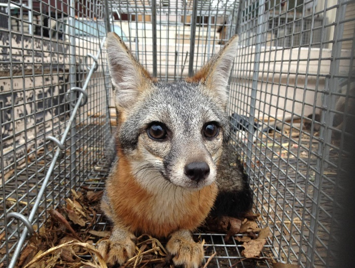 gray fox west