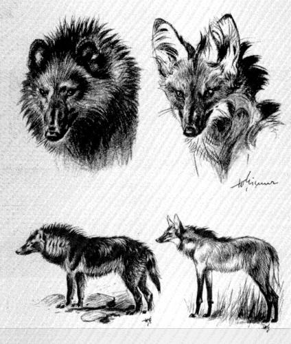 hagenbeck's wolf