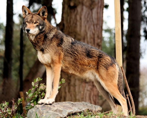 red wolf posed